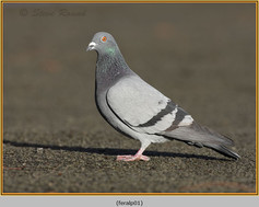 feral-pigeon-01.jpg