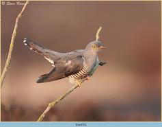 cuckoo-155.jpg