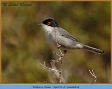 sardinian-warbler-15.jpg