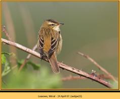sedge-warbler-23.jpg