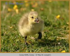 canada-goose-01.jpg