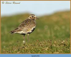 golden-plover-26.jpg