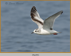 little-gull-06.jpg