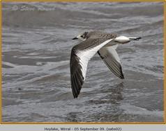 sabine's-gull-02.jpg