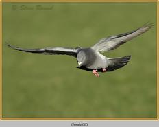 feral-pigeon-06.jpg