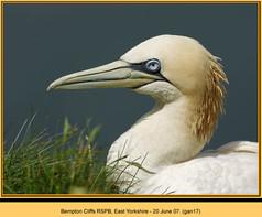 gannet-17.jpg