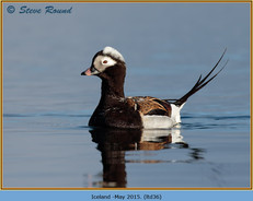 long-tailed-duck-36.jpg