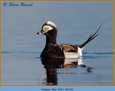 long-tailed-duck-36.jpg