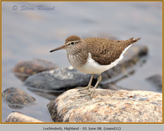 common-sandpiper-11.jpg