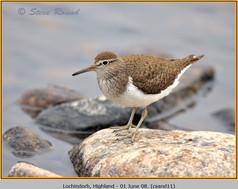 common-sandpiper-11.jpg