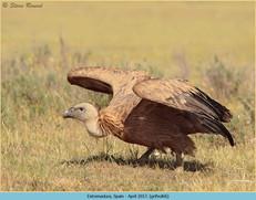 griffon-vulture-66.jpg