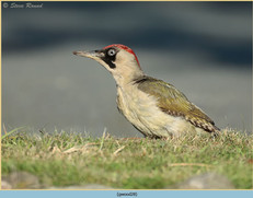 green-woodpecker-28.jpg