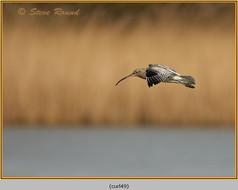 curlew-49.jpg