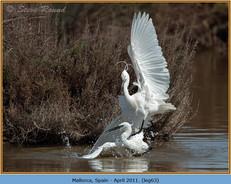 little-egret-63.jpg