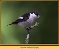 pied-flycatcher-16.jpg