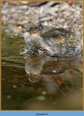 sparrowhawk-47.jpg