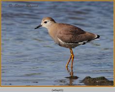 white-tailed-lapwing-03.jpg
