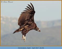 black-vulture-30.jpg