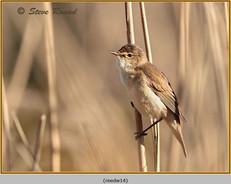 reed-warbler-14.jpg