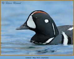 harlequin-duck-36.jpg