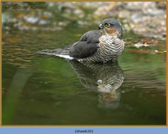 sparrowhawk-26.jpg