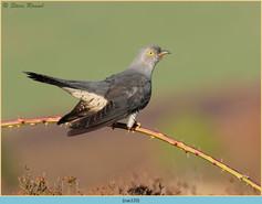 cuckoo-133.jpg