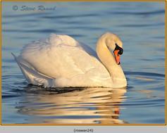 mute-swan-24.jpg