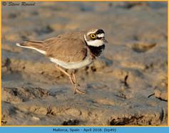 little-ringed-plover-49.jpg
