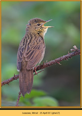 grasshopper-warbler-17.jpg