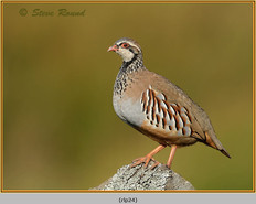 red-legged-partridge-24.jpg