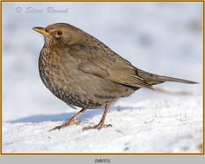 blackbird-55.jpg