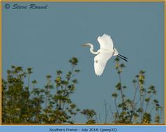 great-white-egret-32.jpg