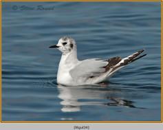 little-gull-34.jpg