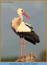 white-stork-25.jpg