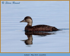 common-scoter-02.jpg