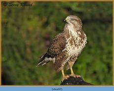 buzzard- 97.jpg