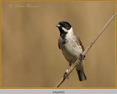 reed-bunting-42.jpg