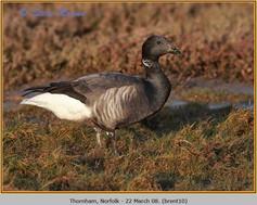 brent-goose-10.jpg