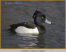 tufted-duck-16.jpg