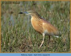 squacco-heron-14.jpg