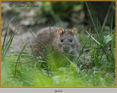 brown-rat-07.jpg