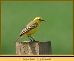 yellow-wagtail-02.jpg