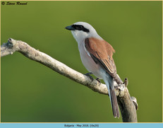 red-backed-shrike-20.jpg