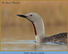 red-throated-diver-104.jpg