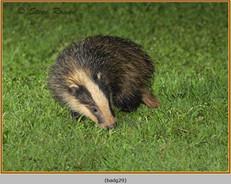 badger-29.jpg