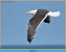 lesser-black-backed-gull-109.jpg