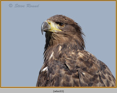 white-tailed-eagle(c)-03.jpg