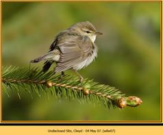 willow-warbler-07.jpg