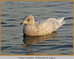 iceland-gull-11.jpg