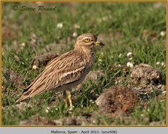 stone-curlew-08.jpg